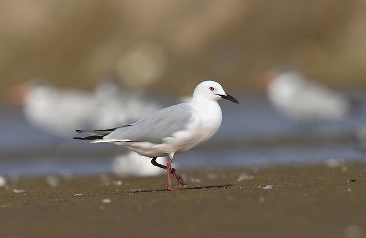 Slender-billed Gull - Larus genei