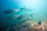 Megalops atlanticus, Atlantic Tarpon, Florida Keys