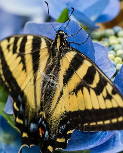 "Western Tiger Swallowtail Butterfly (Papilio rutulus) on Hydrangea blossoms in backyard.  Pacific Northwest.  Summer.  The many ""hairs"" seen on the butterfly are called tactile setae,  These hairs function as sensory structures, providing the animal with information about touch, smell and sound."