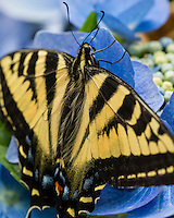 """Western Tiger Swallowtail Butterfly (Papilio rutulus) on Hydrangea blossoms in backyard.  Pacific Northwest.  Summer.  The many """"hairs"""" seen on the butterfly are called tactile setae,  These hairs function as sensory structures, providing the animal with information about touch, smell and sound."""