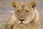 This lioness seemed to simply enjoy sitting around as the younger cats played in the rain.<br /> <br /> Chobe National Park.