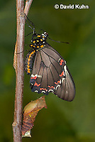 1021-0806  Polydamas swallowtail Recently Emerged from Chrysalis (Life Cycle Series), Battus polydamus  © David Kuhn/Dwight Kuhn Photography.