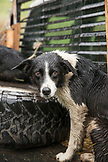 USA, Oregon, Joseph, cow dog after a long days work in the rain, in the canyon up Big Sheep Creek in Northeast Oregon