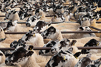 Breeding sheep sale in Thrapston market<br /> &copy;Tim Scrivener Photographer 07850 303986<br />      ....Covering Agriculture In The UK....