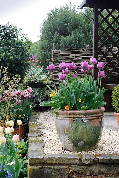 Reader's Garden - Tulips (23rd April 2009).Derek & Lin Walker.Little Larford Cottage.Astley Burf.Stourport-on-Severn.Worcestershire.DY13 0SB