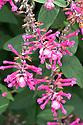 Salvia involucrata 'Boutin', early October. Also known as rosebud sage, roseleaf sage, or rosy-leaf sage.