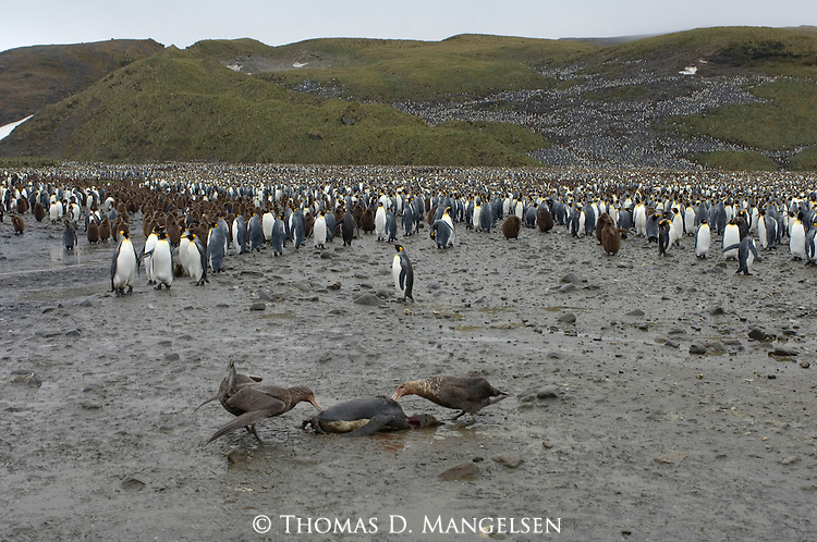 Southern giant petrels feeding on a King Penguin carcass on Salisbury Plain in South Georgia.