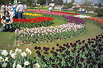 visitors to a commercial flower grower's display garden in Mt. Vernon, WA in the Skagit Valley of Washington state are treated to springtime beds of massed tulips and daffodils planted in geometric shapes