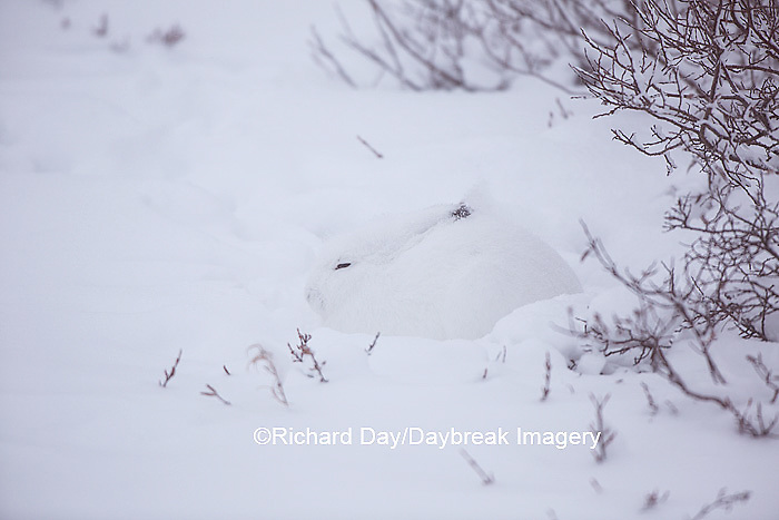 02206-00301 Arctic Hare (Lepus timidus) Churchill Wildlife Management Area, Churchill, MB