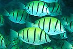 Convict sugeonfish (Acanthurus triostegus)