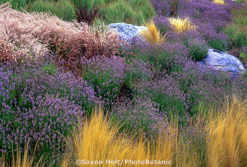 Lavandula (Lavender) river as hillside groundcover with ornamental grasses and blue serpentine rocks.