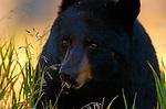 Black Bear Close Portrait, Elk Creek, Yellowstone National Park, Wyoming