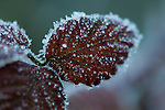 Blackberry, Rubus fruitcosus, leaves with hoar frost in traditional hay meadow. Clattinger Farm, Wiltshire, UK.