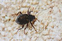 Klauenkäfer, Hakenkäfer, Krallenkäfer, Elmis latreillei, Elmidae, Helmidae, Riffle beetle, Riffle beetles