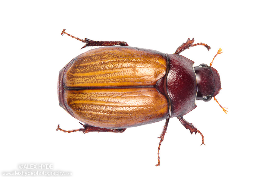 beetle scarabaeidae borneo alex hyde