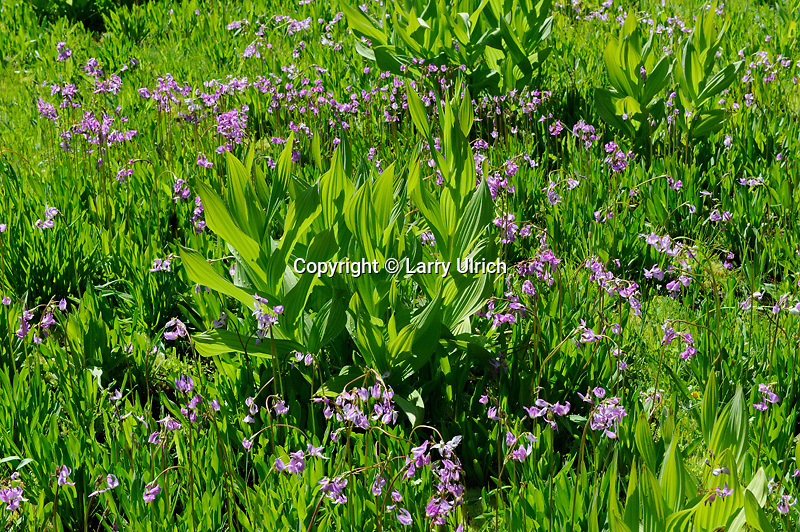 Sierra shootingstar (Dodecatheon subalpinum) <br />   and California corn lily (Veratrum californicum)<br /> Sierra National Forest<br /> Sierra Nevada, California