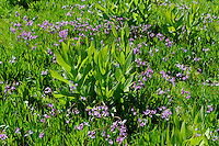 Sierra shootingstar (Dodecatheon subalpinum) <br />