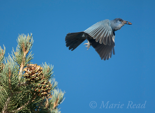 Pinyon Jay (Gymnorhinus cyanocephalus) flying off with Pinyon Pine seeds in its bill, Mono Lake Basin, California, USA