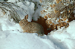 Cottontail rabbit hides in the brush and snow in Southern Colorado.