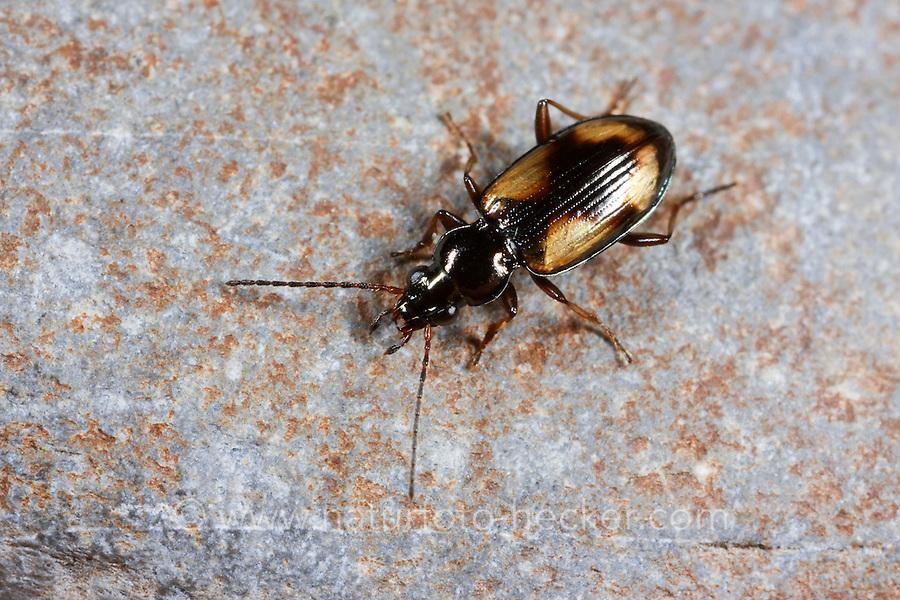 Kleiner Kreuz-Ahlenläufer, Bembidion femoratum, Peryphus femoratum, ground beetle
