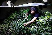 "Los Angeles, California, October 27, 2010 - Aaron Thomas pulls leaves off of cannabis plants at the growing center for his company The Lazy Rabbit, which grows, processes and distributes medical cannabis to dispensaries in California as allowed by the California Compassionate Use Act, which allows people with a prescription to use and cultivate medicinal marijuana. He says, ""These are my babies, I really like to take care of them; keep them pruned and healthy."" About 2 ½ years ago Thomas fell which nearly killed him. He said that was on Percocet, Oxycotin and a host of other drugs. ""They wanted to put me on antidepressants, but I said 'no'"" says Thomas, ""Then my doctor recommended cannabis."" It worked so well for him, the he started researching the plant and about six months ago started this business, The Lazy Rabbit, to help create a stable and consistent product. ""Up until recently this product has been distributed by criminals. We need to change the perception of cannabis... We need to be working with doctors and scientists to understand the medicinal effects."" Currently his operation is not even breaking even because he allows people to pay what they can afford for it. ""My goal is to supply stable and consistent medical cannabis to facilitate the medical needs and to actually cure people."" ."