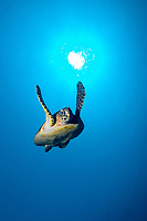 Hawksbill turtle, Eretmochelys imbricata, swimming over the sun whilst returning from the surface after going up for air, Twin rocks, Pulau Perhentian, South China sea, Penninsular Malaysia, Asia