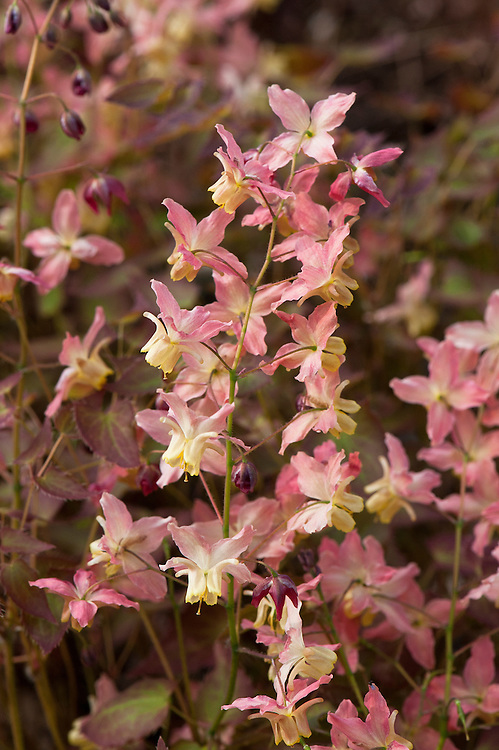 Pink and yellow flowers of Epimedium x versicolor 'Versicolor', also known as bishop's hat or barrenwort, early April.