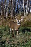 White-tailed buck(s) in fall