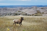 Bighorn Ram, Badlands National Park, South Dakota