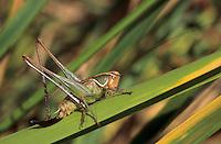 Zaunschrecke, Weibchen, Sepiana sepium, Platycleis sepium, Metrioptera sepium, Sepia Bush-cricket, Sepia Bush cricket, female