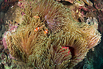 Apo Island, Dauin, Negros Oriental, Philippines; several false clown anemonefish swimming amongst a large carpet anemone