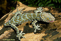 GK01-032x  Tokay Gecko - adult with lost tail -Gekko gecko