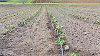 Drip irrigation with  new crop at Community Supported Agriculture Farm, 47th Avenue Farm, plowed and ready for sprint planting.  Luscher Farms Park, City of Lake Oswego, Oregon, USA.