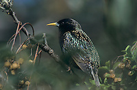 European Starling, Sturnus vulgaris, adult, New Braunfels, Texas, USA, April 2001