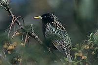 European Starling, Sturnus vulgaris, adult, New Braunfels, Texas, USA, April 2001
