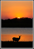 Malawi - a female Waterbuck under African skies just after sunset in Liwonde National Park, on the banks of the Shire (pronounced Shirree) River .... Pic Donald MacLeod 29.05.05
