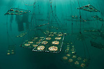 Pearl oysters in cages  underwater.