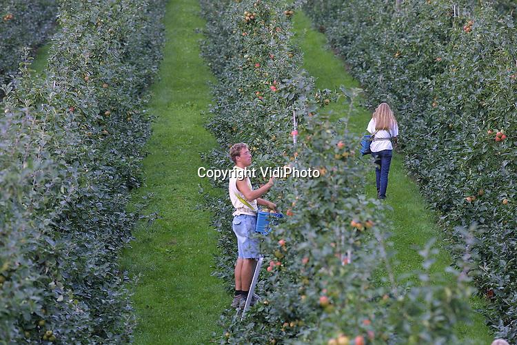 Foto: VidiPhoto..KESTEREN -  De rijpe zomerappels in de boomgaard van fruitteler Van Lutterveld uit Kesteren worden geplukt. Zowel de oogst als de prijzen zien er dit jaar veelbelovend uit. Op de veiling brengen de appels ruim drie maal zoveel op als vorig jaar. Dat komt omdat de koelcellen in Nederland vrijwel leeg zijn en omdat er ook in de rest van Europa nauwelijks nog appels voorradig zijn.