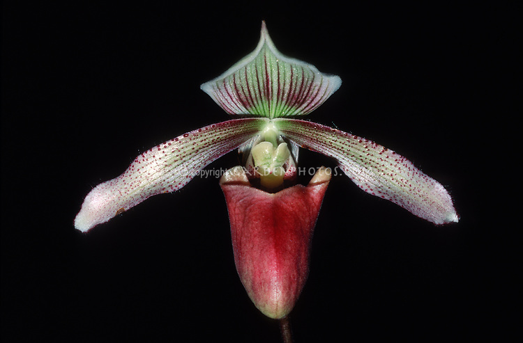 Paphiopedilum superbum orchid species