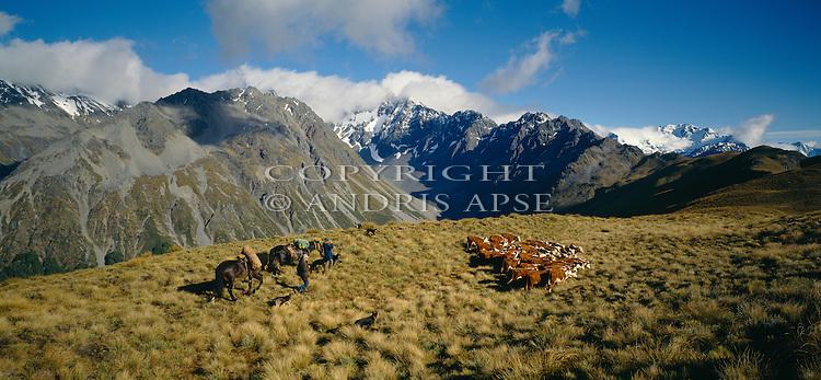 Horsemen with dogs moving cattle on Birchwood Station. Otago Region. New Zealand.