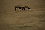elk, field, fall, autumn, Estes Park, Colorado
