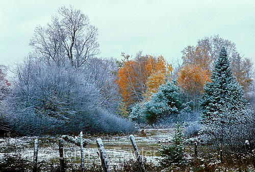 First snow on autumn colour, fall colour, maple trees, Lanark County, Ontario
