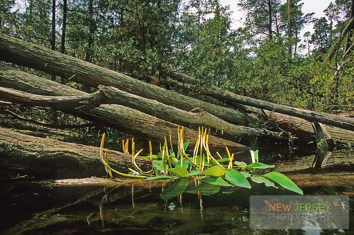 Golden Club, blooming aquatic herb, savannah, Pine Barrens, New Jersey