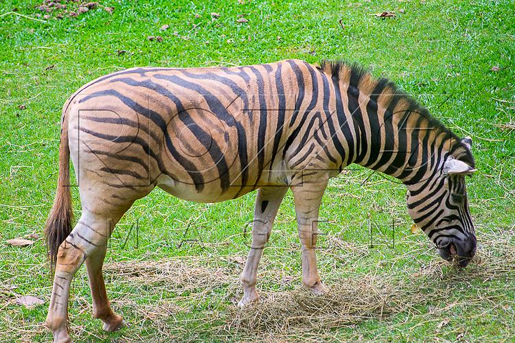 Zebra na Fundação Parque Zoológico de São Paulo, São Paulo - SP, 02/2016.