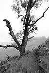 California black oak, Redwood National Park
