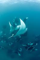 reef manta rays, Manta alfredi, vortex-feeding on plankton, Hanifaru Bay, Baa Atoll, Maldives, Indian Ocean