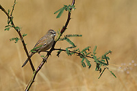 578680007 a wild botteri's sparrow aimophila botteri perches on a mesquite branch in the madera grasslands green valley arizona united states