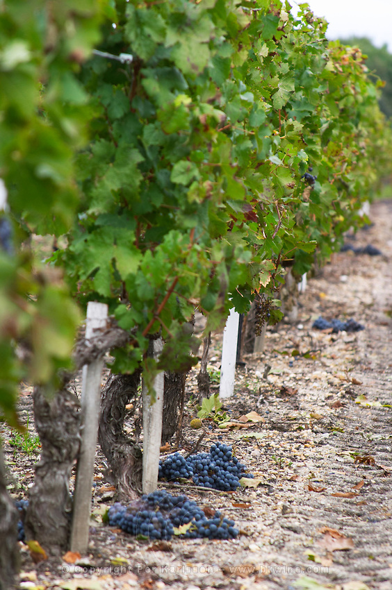 Green harvested grapes dumped on the ground. Cabernet Sauvignon. Chateau Liversan, Domaines Lapalu, Haut Medoc, Bordeaux, France
