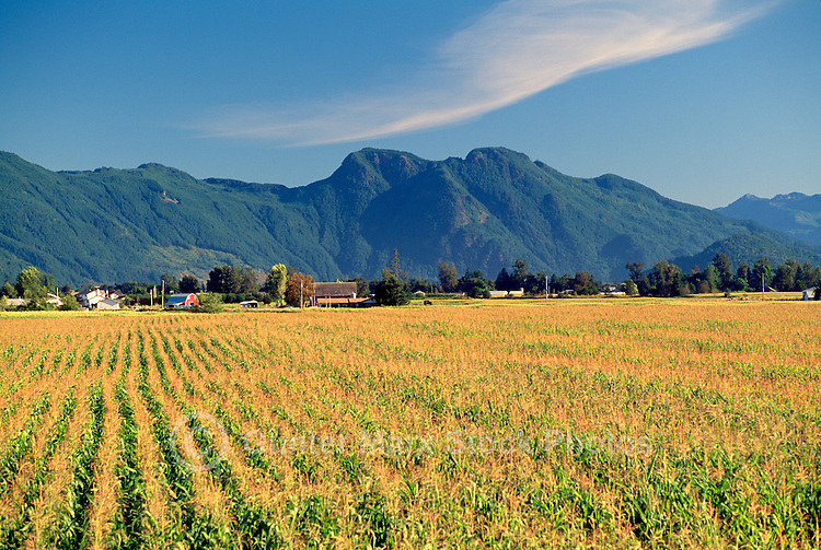Fraser Valley, Southwestern BC, British Columbia, Canada - Farm, Corn Field, and Cascade Mountains