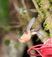 Female purple-throated woodstar, Calliphlox mitchellii, approaching a feeder at San Jorge Eco-Lodge, Tandayapa Valley, Ecuador